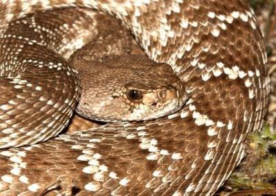 Northern Red Diamond Rattlesnake