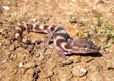 San Diego Banded Gecko