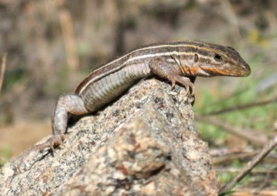 Belding's Orange-Throated Whiptail